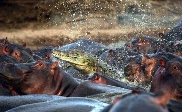 Крокодил против стада бегемотиков, кто кого? (2 фото)