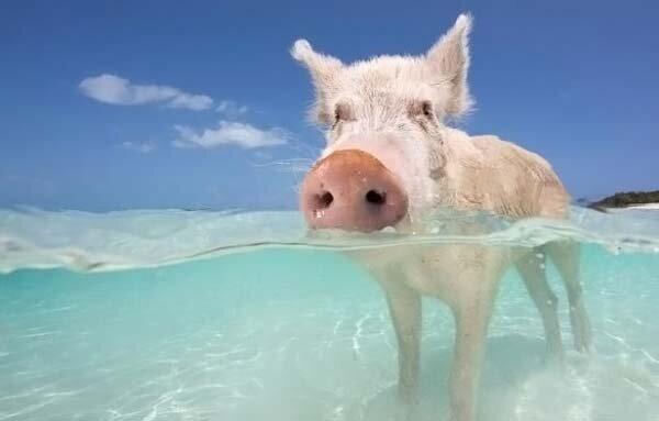 Как отдыхают багамские свинки (25 фото)