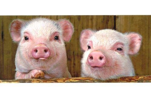 Свинские открытки (48 фото)