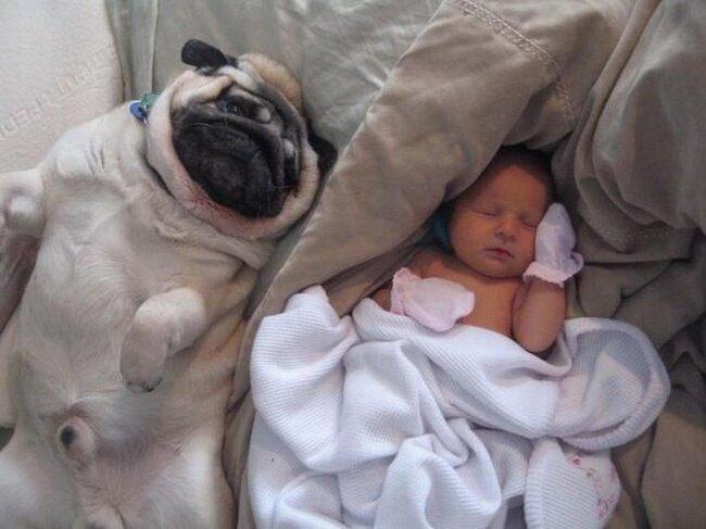Младенец и мопсы (4 фото)