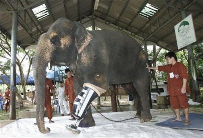 Слоновий протез (13 фото)
