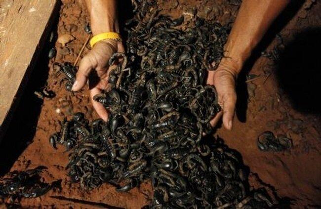 Скорпионы (6 фото)