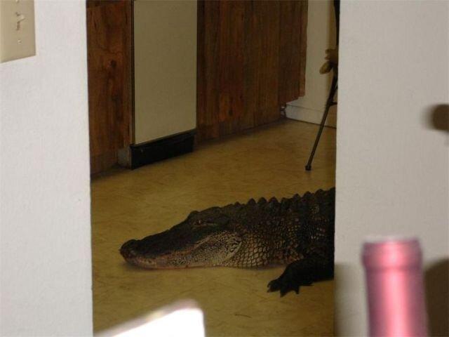 Крокодил пробрался в дом (3 фото)