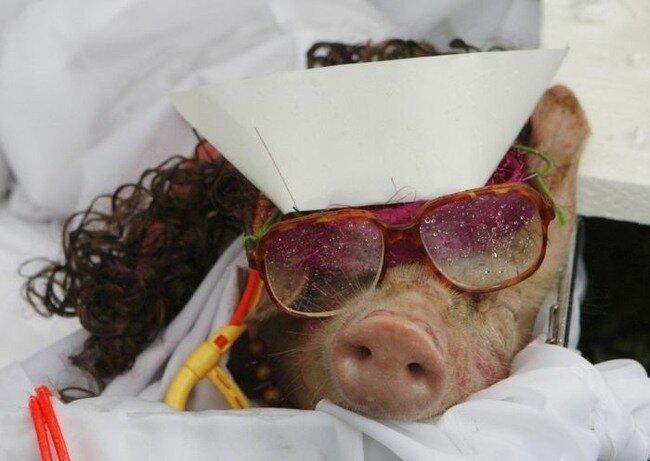 Фестиваль костюма свиньи в Филиппинах (7 фото)