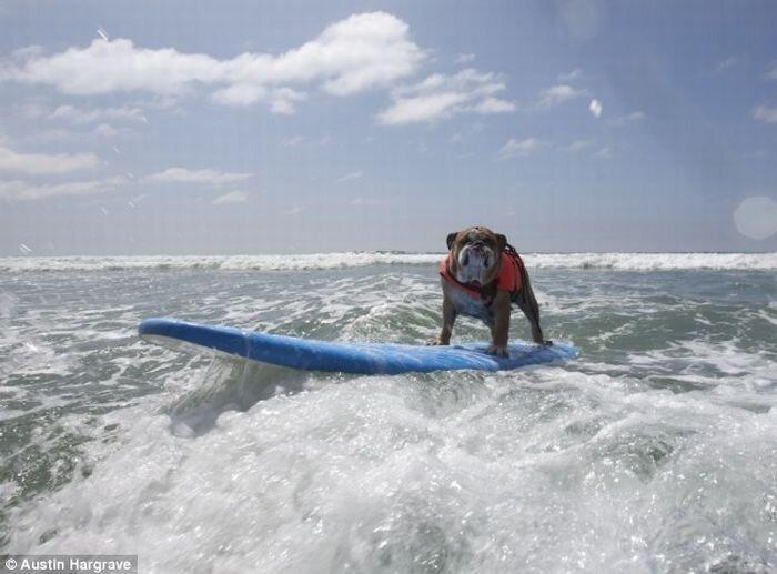 Собаки серфингисты (25 фото)