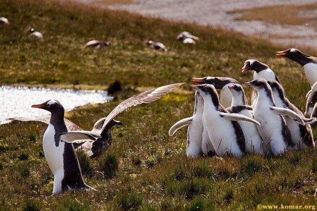 Нападение на пингвина (осторожно жестоко) (21 фото)