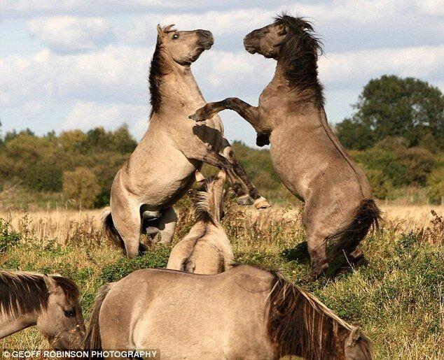 Лошади бьются между собой(3 фото)