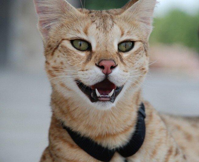 Cамый высокий кот в мире (12 фото+видео)