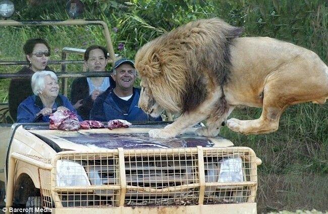 Дружелюбный лев (6 фото)