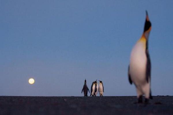 Пингвины (6 фотографий)