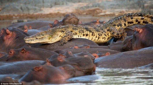 Редкий случай, крокодил убит бегемотом (5 фото)