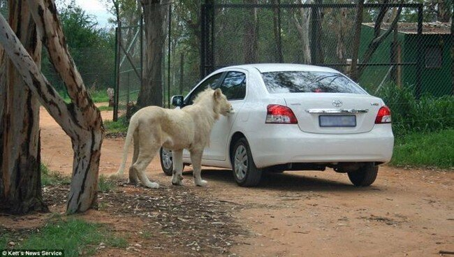 Лев, открывающий двери авто (5 фото)