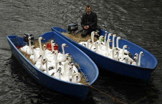 Лебедей отправили на зимовку (5 фото)