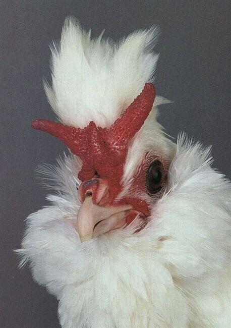 Необычные курицы (17 фото)
