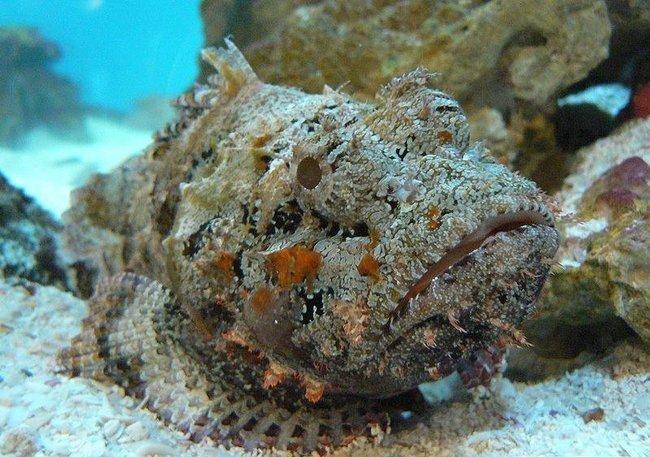 Рыба камень (7 фото)