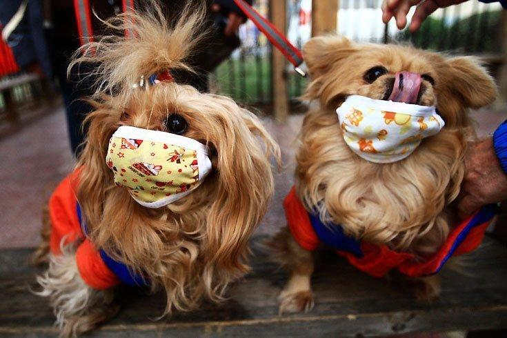 Дожили, собаки в масках (2 фото)
