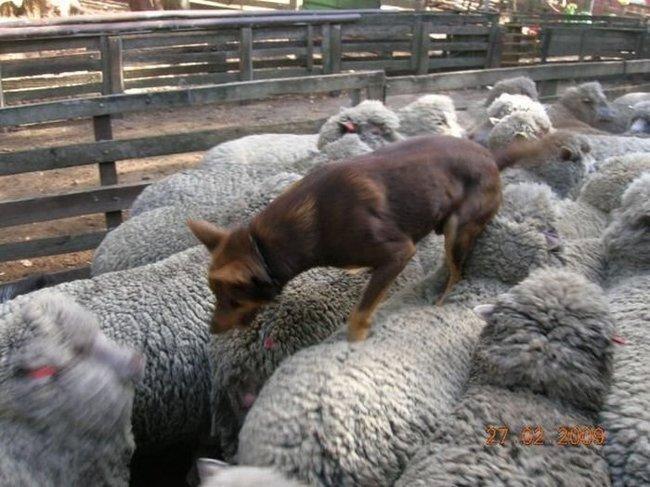 Хождение по овцам (4 фото)