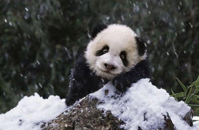 Семейство панды радуются первому снегу (9 фото)