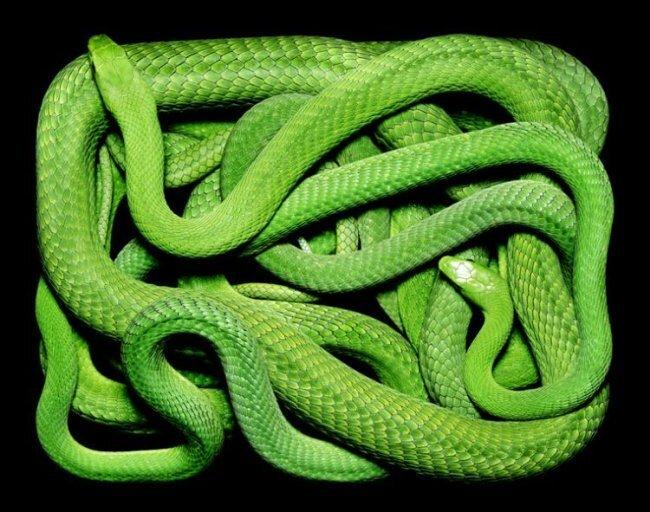 Клубки змей (19 фото)