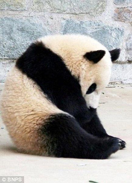 Панда спит - она устала... (8 фото)