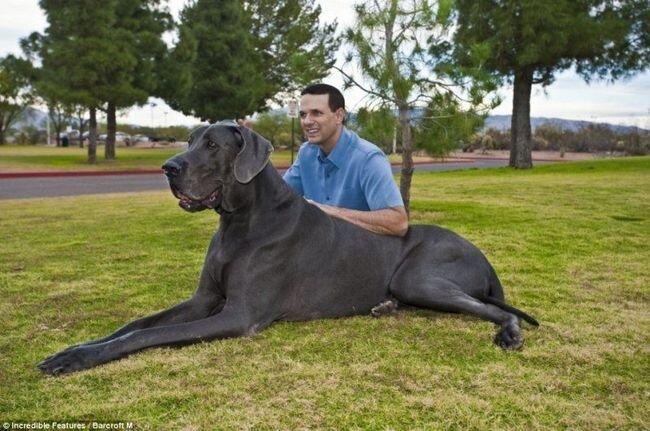 Очень большая собака (4 фото)