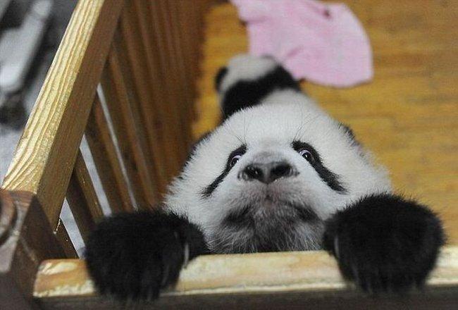 Побег панды (8 фото)