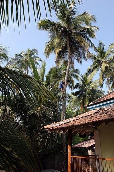 Гоа: время собирать кокосы (15 фото)