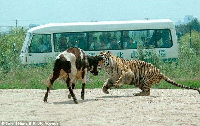 Кормление тигров в Китае (6 фото)