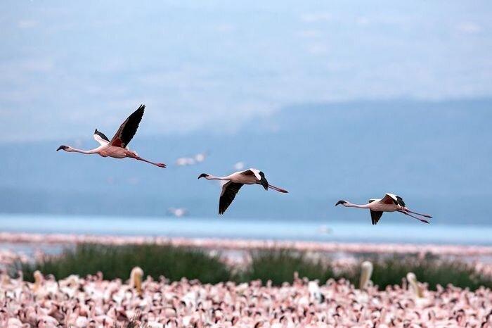 Розовое покрывало из фламинго (6 фото)