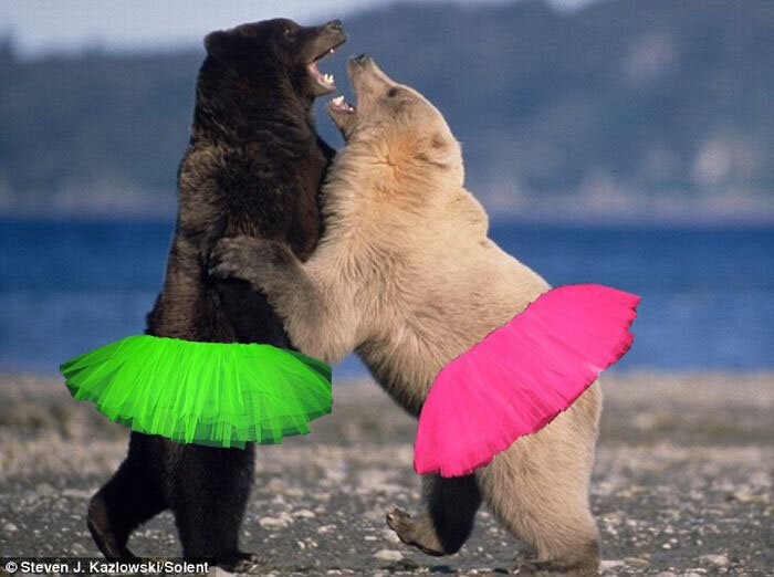 Жестокий бой медведей Гризли (7 фото)