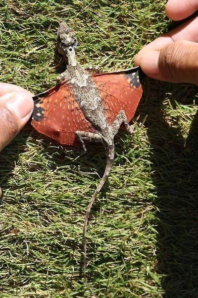 Летучий дракон (8 фото)