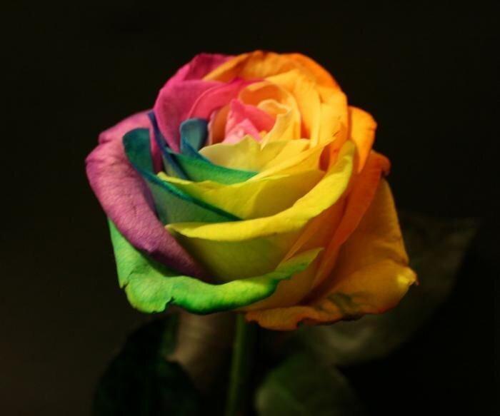 Радужные розы (13 фото)