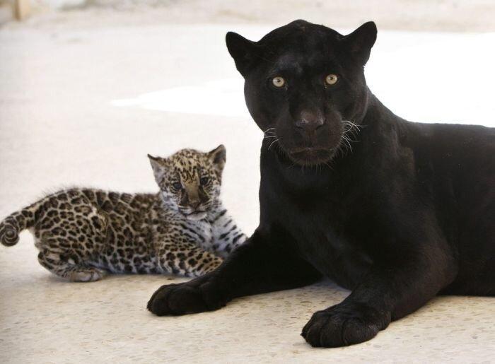 Маленький ягуар играет со своей мамой (7 фото)