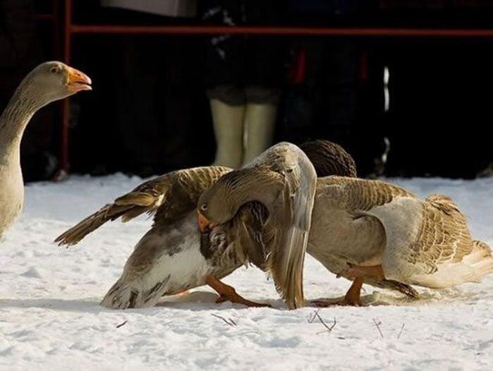 Традиционные бои гусей в Суздале (9 фото)
