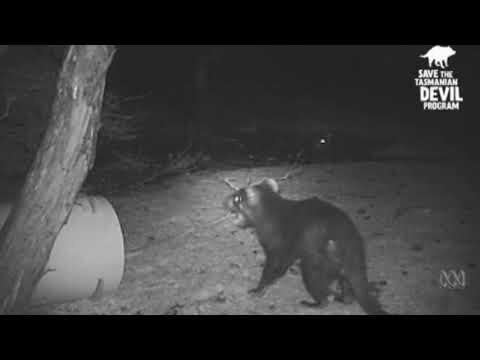 Необычное поведение тасманийского дьявола снято лесной камерой
