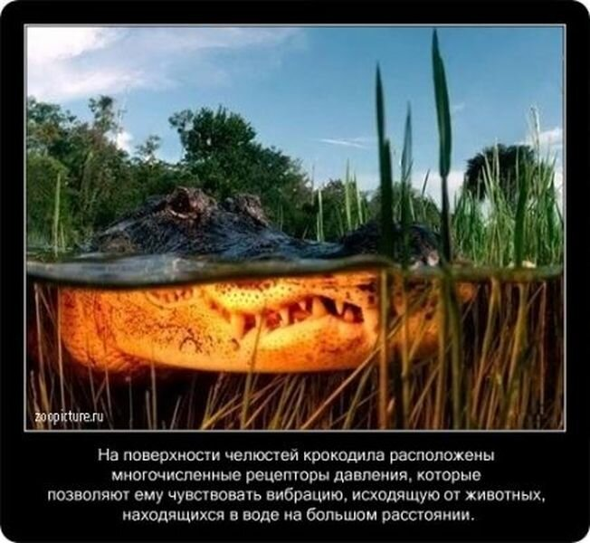 Факты про крокодилов в картинках  (24 фото)