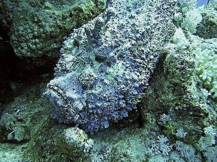 Рыба-камень (20 фото)