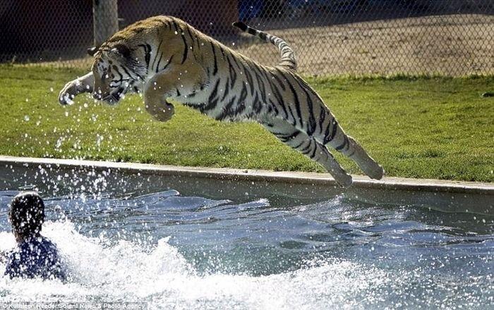 Развлечение тигров в бассейне (6 фото + видео)