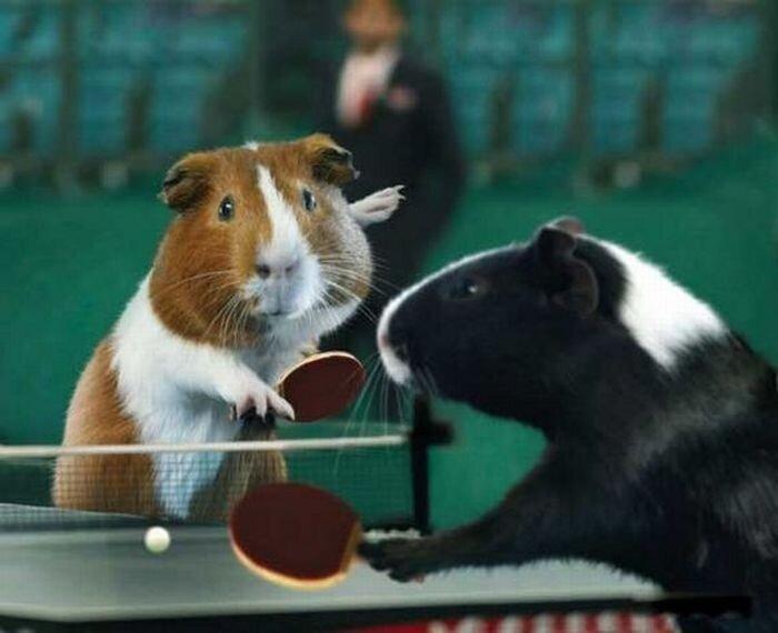 Олимпийские игры морских свинок (9 фото)