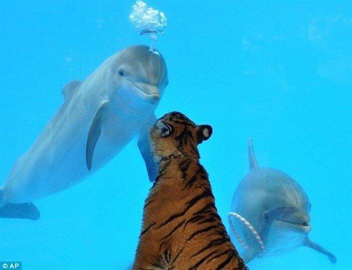 Дельфин и тигр (3 фото)