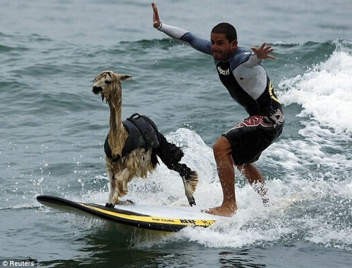 Серфинг с ламой (3 фото)
