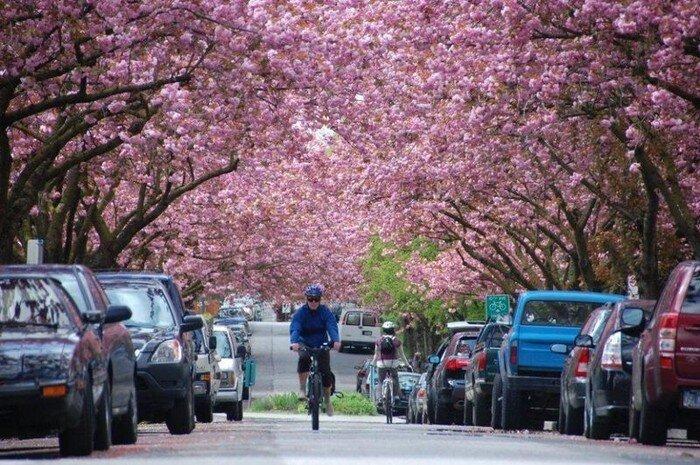 Фестиваль цветения вишни (15 фото)