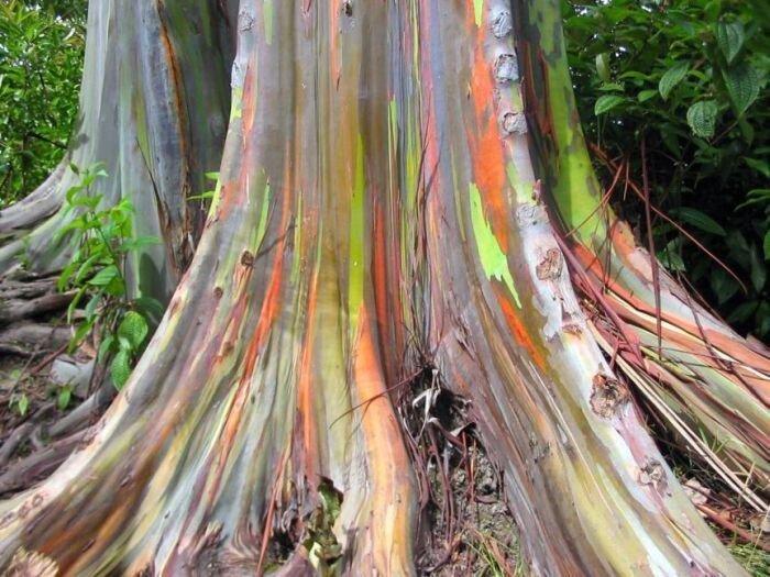 Rainbow Eucalyptus (Радужный Эвкалипт) (7 фото)