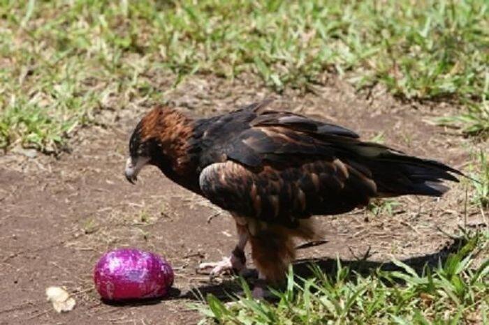Орел и пасхальное яйцо (6 фото+2 видео)