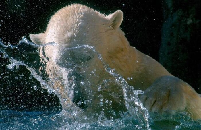 Белый медведь Уилли со своими игрушками (12 фото)
