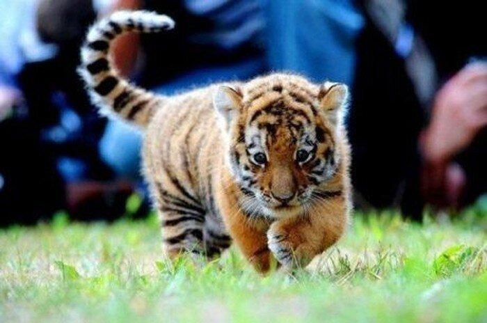 Тигрята (5 фото)