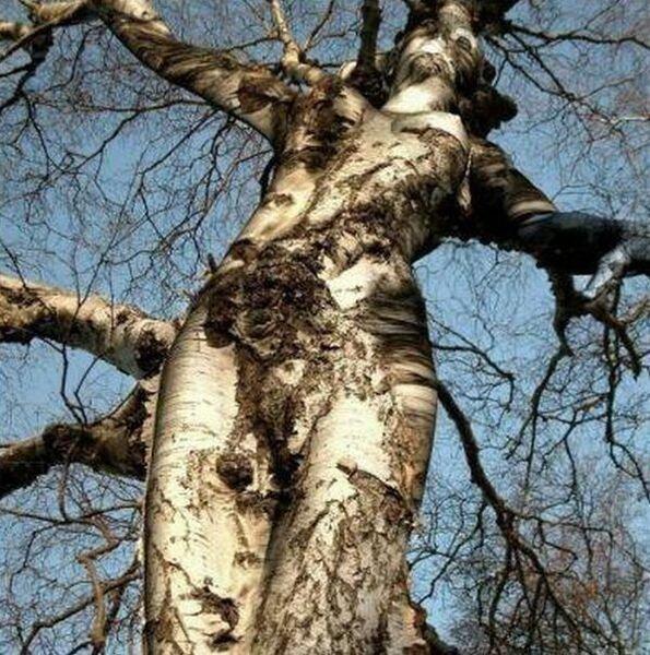 Очень сексуальные деревья (27 фото)