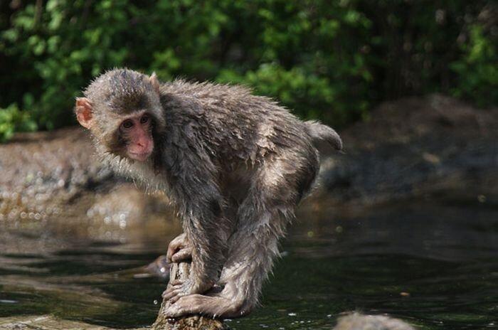 Обезьянка учится плавать (18 фото)