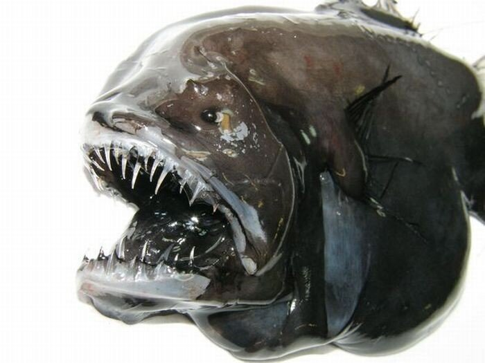 Страшные рыбы (8 фото)