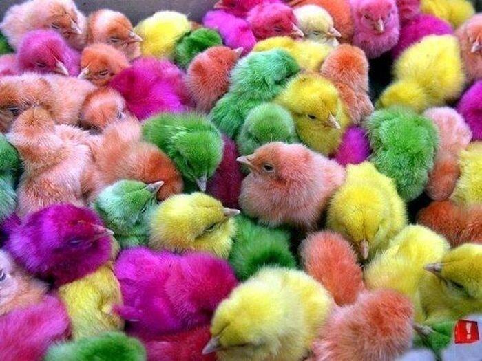 Пасхальные цыплята (5 фото)